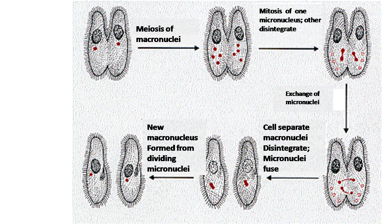 Template of pronuclei is followed by postconjugation fissions generally after the mutual exchange of the pronuclei the conjugants separate eg paramecium pooptronica Gallery